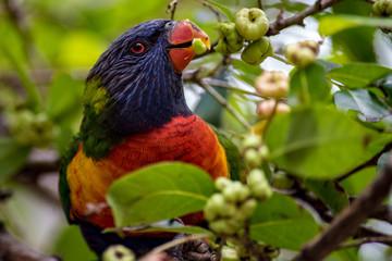 Rainbow Lorikeet Eating Berries