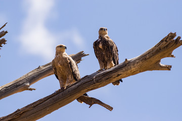 A pair of Tawny eagle (aquila rapax) on tree branch, Samburu National Reserve, Kenya, East Africa