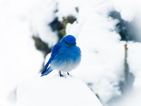 Little Angry Blue Bird