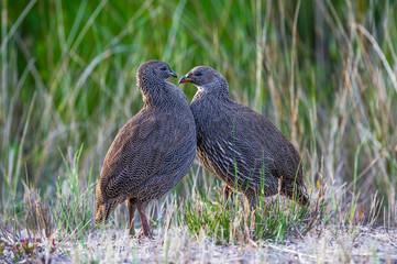 Cape Spurfowls sparring