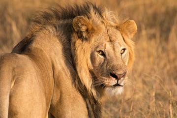 Male Lion (panthera leo) looking at camera, Maasai Mara, Kenya