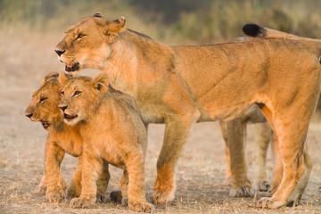 Mother lion (Panthera leo) with cubs, Masai Mara, Kenya