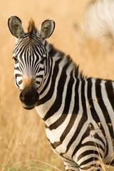 Lone Plains Zebra (Equus quagga), Maasai Mara, Kenya