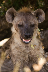 Fotobehang Hyena Hyena Resting in Shade
