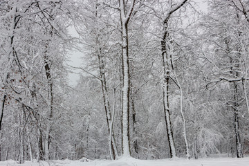 Concept winter beauty. Hardwood. With bare trees covered with snow.