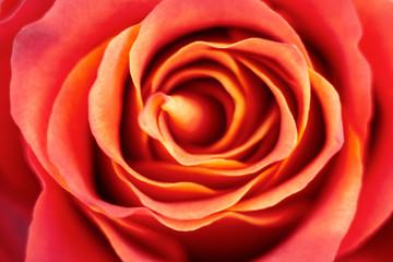 Red rose background. Soft focus.