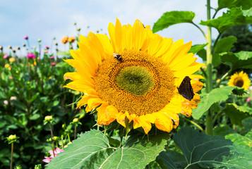 Sonnenblume mit Schmetterling und Hummel, regionales Blumenfeld zur Direktvermarktung