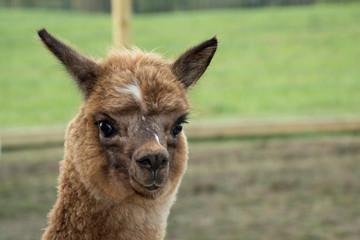 Female Cria alpaca posing for the camera