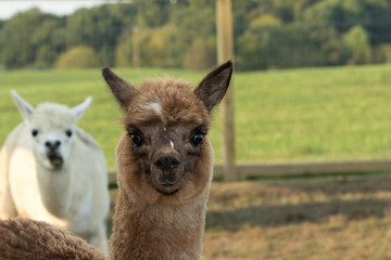 Female Cria alpaca posing for the camera with the mother in the background