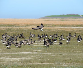 Black geese colony, Branta bernicla, on North Sea in spring