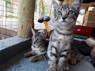Filhotes gatinhoa tigrados cinza