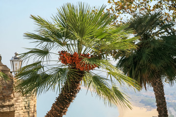Dates growing on a European fan palm tree (Chamaerops humilis, Arecaceae), also known as the Mediterranean dwarf palm, with the Adriatic Sea in the background.