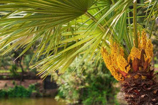 Close-up of a yellow flowering European fan palm tree (Chamaerops humilis, Arecaceae), also known as the Mediterranean dwarf palm, cultivated in Italy.
