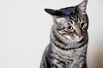 耳を倒す猫