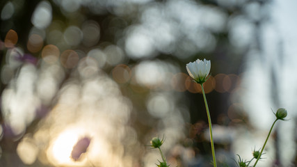 Cosmos flowers on blur background.