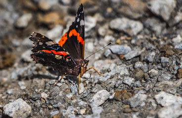 Vanessa atalanta or red admiral is a butterfly with black wings and orange bands and white spots