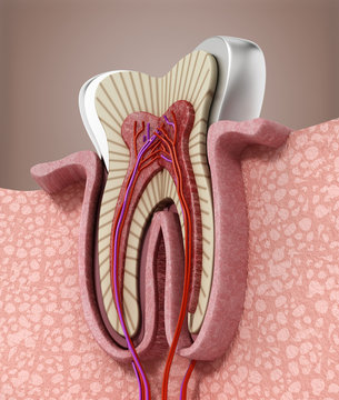 3D structure of a human tooth. 3D illustration