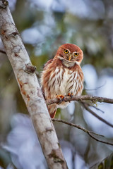 Glaucidium brasilianum, Ferruginous pygmy owl, small, typical owl native to America. Rich rufous colored owl, perched on a tree in early morning, staring at camera. Costa Rica wildlife photography.
