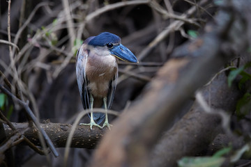 Boat-billed heron, Cochlearius cochlearius, nocturnal bird from heron family standing on mangrove roots against muddy river bank. Nocturnal bird with massive broad scoop-like bill, Tarcoles,Costa Rica