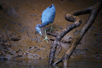 Close up  Little blue heron, Egretta caerulea, small american blue-grey heron with crustacean in its beak during low tide on muddy banks of river Tarcoles. Wildlife photography in Costa Rica.