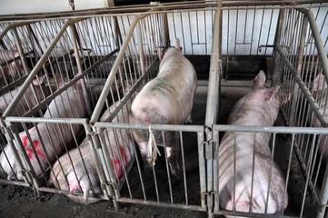 Feeding pigs on a farm
