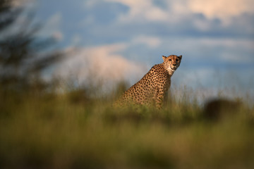 Cheetahs, Acinonyx jubatus, sitting  in high grass in savanna, staring directly at camera.  Wildlife scene. Typical  savanna environment. Nxai Pan, Botswana.