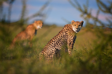 Two Cheetahs, Acinonyx jubatus, sitting  in high grass in savanna, staring directly at camera.  Wildlife scene. Typical  savanna environment. Nxai Pan, Botswana.