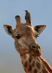 Vertical portrait of Southern Giraffe, Giraffa camelopardalis with Red-billed oxpecker, Buphagus erythrorhynchus, ticks eating african bird sitting on its horn. KwaZulu Natal, South Africa.