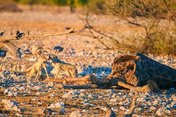 Black-backed jackal, Canis mesomelas, fox-like canis, pair of jackals feeding on giraffe carcass. African wildlife scenery. Etosha national park. Namibia.