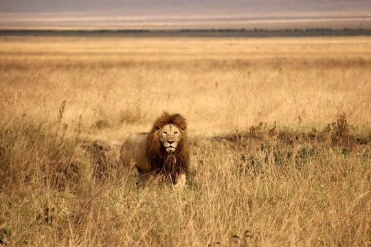 Male lion stalking prey in the Ngorongoro Crater, Tanzania