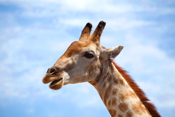 Head of giraffe with open mouth on blue sky with white clouds background close up on safari in Chobe National Park, Botswana, Southern Africa