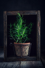 Fresh and homegrown rosemary in old clay flower pot