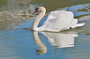 Closeup mute swan (Cygnus olor) swimming on water