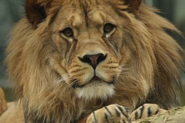 Male of the Barbary lion in portrait picture. Critically endangered kind of a large cat that is extinct in the wild.