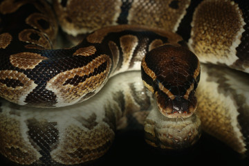 Ball python on a close up picture with a black background and a mirror effect. A common reptile which has nice color, comes from Africa and is often bred in captivity as a pet.