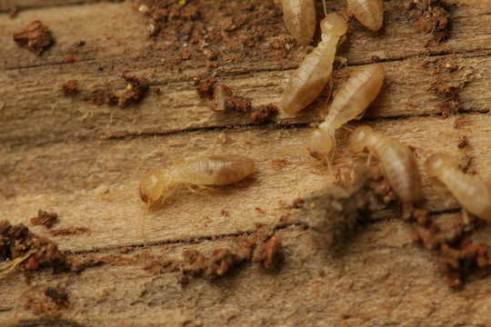 Termites dwelling in wood. A common pest insect occurring in warm regions.