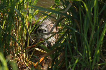 Coypu hiding in a vegetation on river bank - a large rodent species from America, which is alien in Europe. A mammal inhabiting water and surroundings on a horizontal picture.
