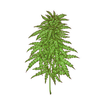 Vector cannabis plant sketch icon. Green hemp plant with leaves, ligalized smoking drug symbol, marijuana herb, can be used in medical design. Isolated illustration