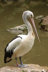 Great white pelican resting on a bank of the lake.