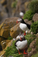 Portrait of the Puffin, a common cliff bird occurring in northern Europe A close up horizontal picture of a colorful species made in Iceland.