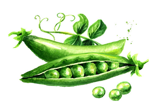 Green peas with leaves, Watercolor hand drawn illustration  isolated on white background