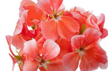 Elegant decorative geranium flower, Floral branch. Floral decoration for vintage wedding invitations, greeting cards, banners
