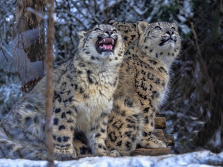 Snow leopard, Uncia uncia, female with grown young