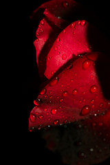 Close up of dew on red rose