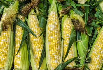 Fototapeta Fresh corn obraz