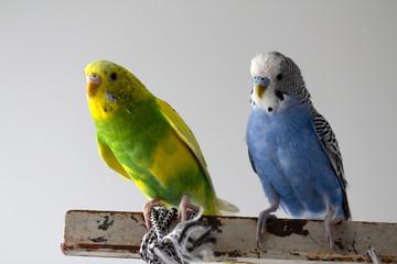 Kiss wavy parrots. Little birds touched each other's beaks