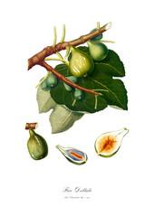 Figs vintage poster after digital restoration.