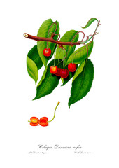 Cherry vintage drawing poster.