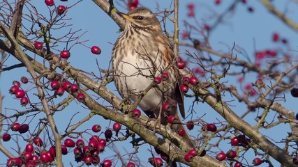 Fotoväggar - Redwing, Turdus iliacus, single bird on Hawthorn berry bush
