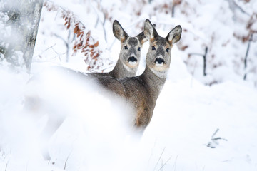 Roe Deer (Capreolus capreolus) in the forest. Bieszczady Mountains.